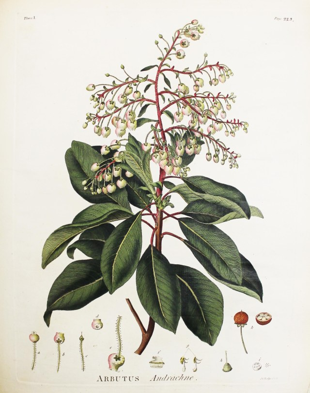 Arbutus Andrachne. Plate from The Works of John Fothergill, M.D. 1784 (SR L007 FOT)